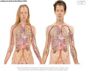 Puzzle de Órganos del cuerpo