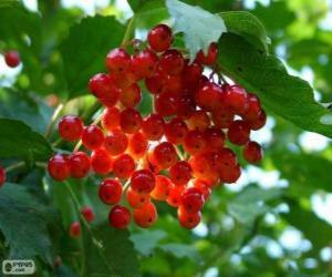 Puzzle de Acebo con sus frutos rojos