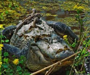 Puzzle de Aligátor americano, uno de los cocodrilos más grandes del continente americano, especie protegida en EEUU