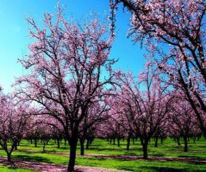 Puzzle de Almendros floridos en primavera