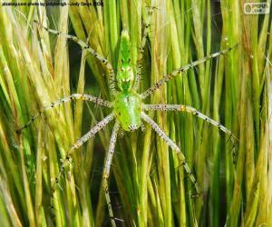 Puzzle de Araña lince verde
