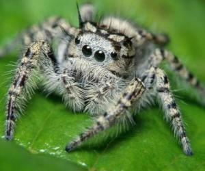 Puzzle de Araña