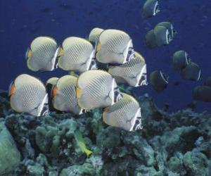 Puzzle de Bandada de peces plateados