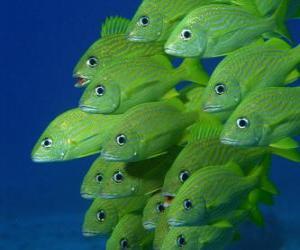 Puzzle de Bandada de peces verdes