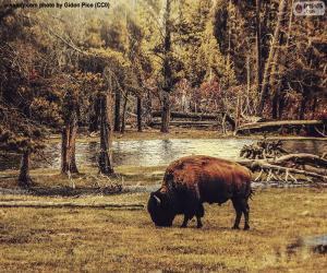 Puzzle de Bisonte pastando