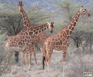 Puzzle de Bonitas jirafas