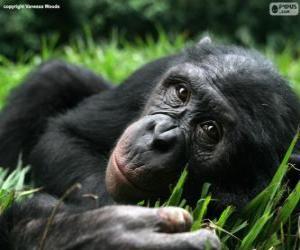Puzzle de Bonobo o chimpancé pigmeo