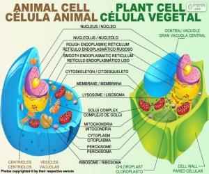 Puzzle de Célula animal y vegetal