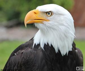Puzzle de Cabeza de águila calva