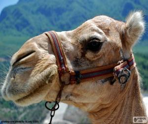 Puzzle de Cabeza de camello arábigo