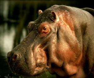 Puzzle de cabeza de hipopótamo común