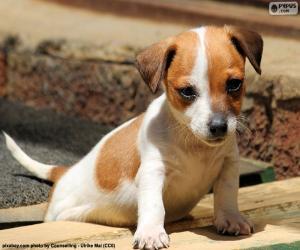 Puzzle de Cachorro Jack Russell Terrier