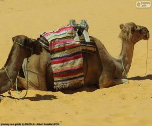 Puzzle de Camellos descansando