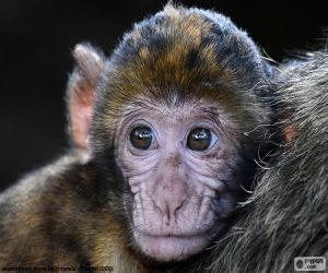Puzzle de Cara de un pequeño mono