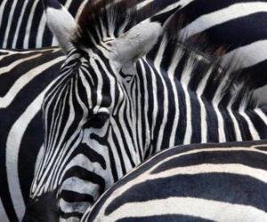 Puzzle de Cebras
