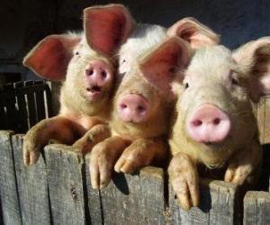 Puzzle de Cerdo doméstico