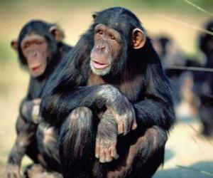 Puzzle de Chimpancé sentado en el suelo