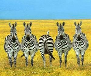 Puzzle de Cinco cebras