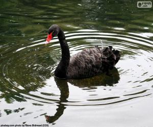 Puzzle de Cisne negro