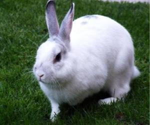 Puzzle de Conejo blanco como la nieve