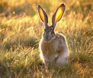 Puzzle de Conejo con grandes orejas