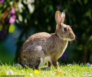 Puzzle de Conejo europeo