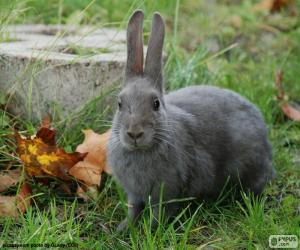 Puzzle de Conejo gris