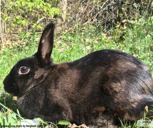 Puzzle de Conejo negro