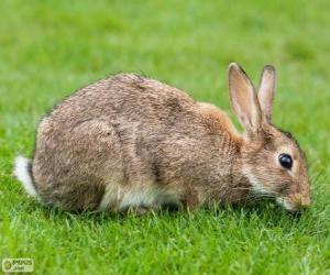 Puzzle de Conejo salvaje