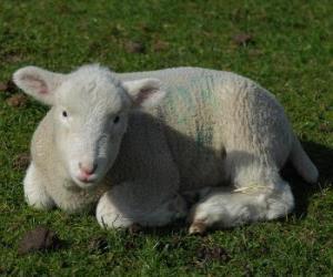Puzzle de Cordero, una cría de oveja y de carnero