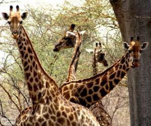 Puzzle de Cuatro jirafas