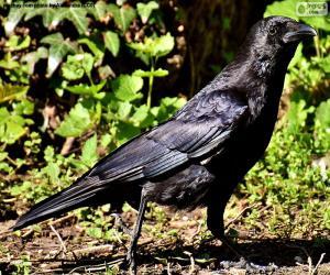 Puzzle de Cuervo o corneja