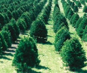 Puzzle de cultivo, de árboles de Navidad
