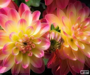 Puzzle de Dahlia amarilla y rosa