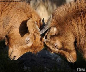 Puzzle de Dos cabras peleando
