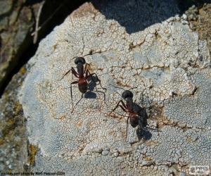 Puzzle de Dos hormigas