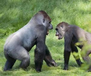 Puzzle de Dos jóvenes gorilas caminado sobre sus cuatro patas