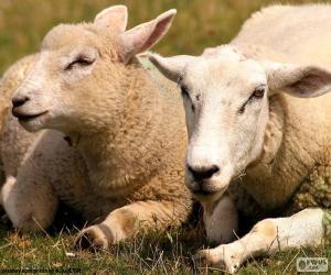 Puzzle de Dos ovejas