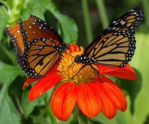 Puzzle de dos preciosas mariposas cara a cara