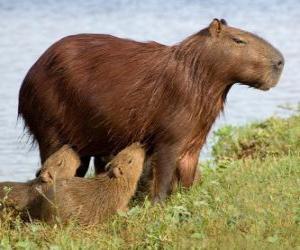 Puzzle de El carpincho, capincho, chigüiro, chigüire, o capibara, es el roedor viviente de mayor tamaño del mundo