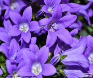 Puzzle de El color violeta o púrpura