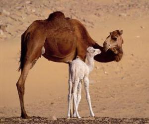 Puzzle de el Dromedario o camello arábigo