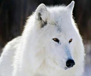 Puzzle de El lobo ártico