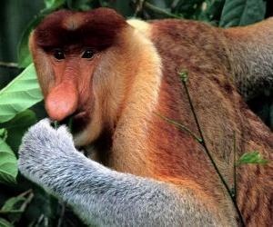 Puzzle de El mono narigudo o násico (Nasalis larvatus) es una especie de primate catarrino de la familia Cercopithecidae de rojizo-marrón, herbívoro, encontrado en las costas de Borneo.