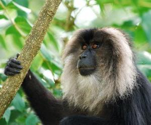 Puzzle de El sileno, macaco de cola de león, mono león o mono barbudo
