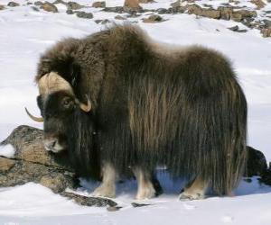 Puzzle de El yak