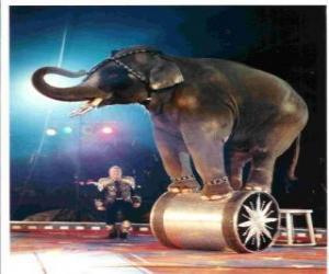 Puzzle de Elefante adiestrado actuando en un circo caminando sobre un cilindro