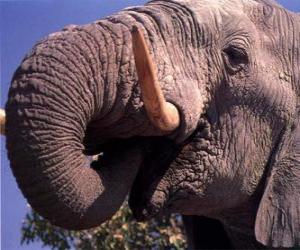 Puzzle de Elefante comiendo