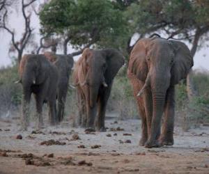Puzzle de Elefantes africanos