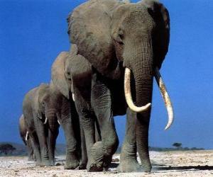 Puzzle de Elefantes caminando
